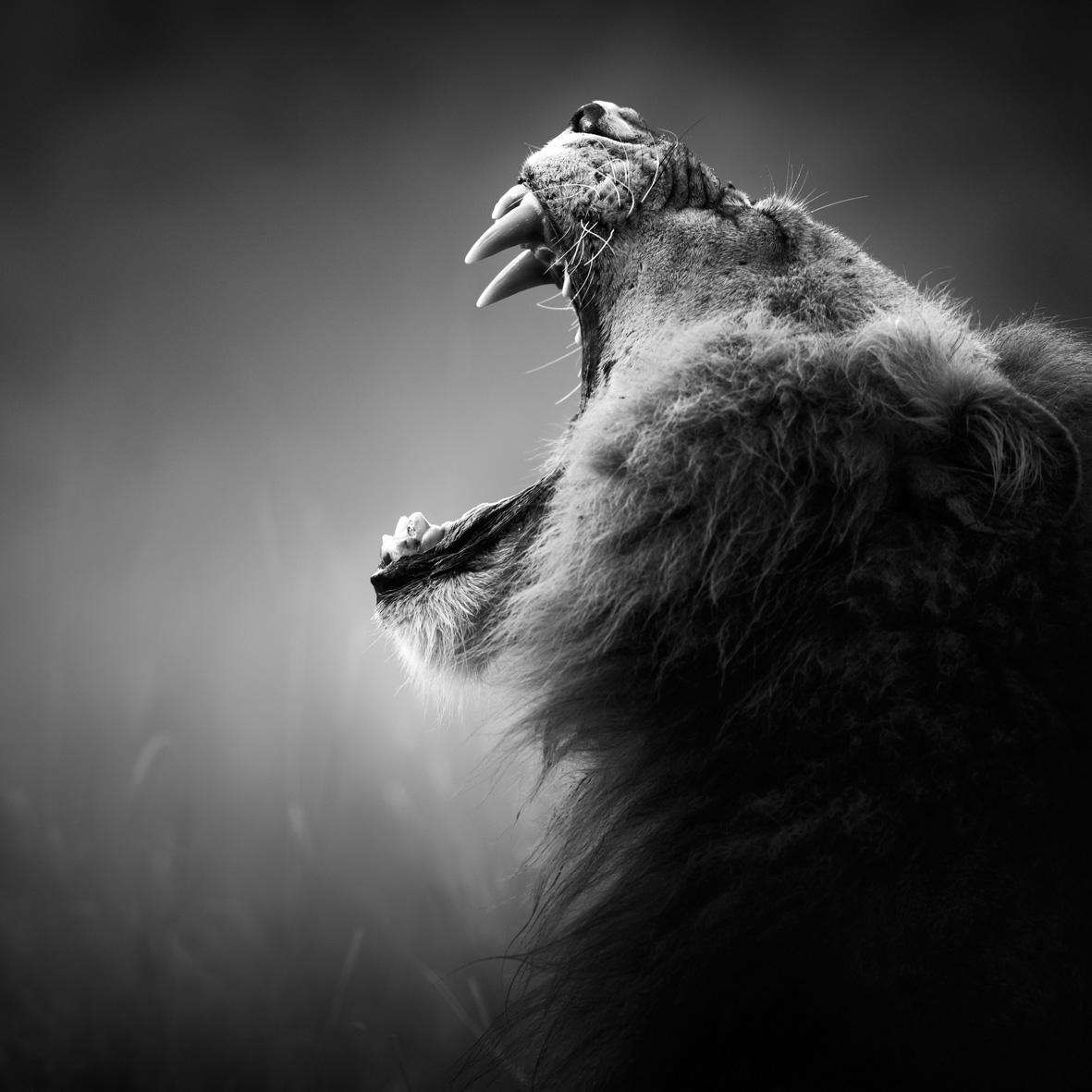 Löwen-Bild auf Edelstahl