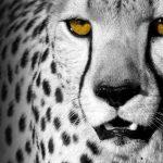 Bild auf Edelstahl - Gepard